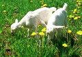 Российские козы дают человеческое молоко