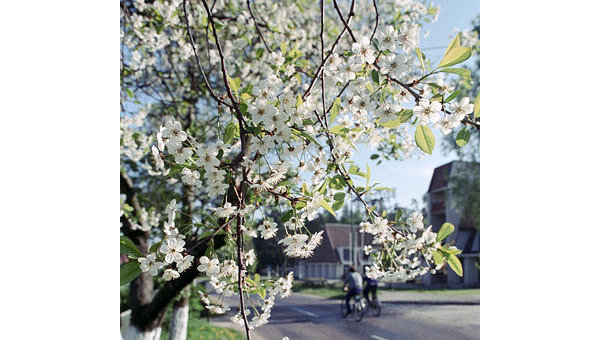 Цветущая вишня. Архив