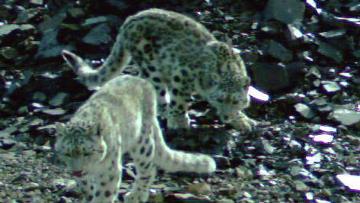Котята ирбиса в Горном Алтае