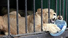 Львица Тася в Ленинградском зоопарке. Архивное фото