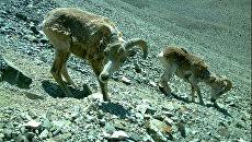 Снимок аргали и горного козла, полученный фотоловушкой