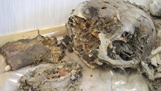 Кости мамонта. Архивное фото