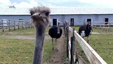 Африканские страусы размножаются за полярным кругом под Мурманском