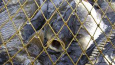Отлов рыбы. Архивное фото
