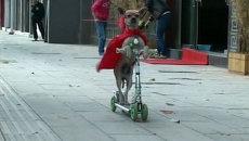 Собака по кличке Дуодуо в красном плаще и очках катается на самокате