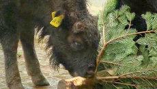 Бизоны и лоси лакомятся рождественскими елями в немецком зоопарке