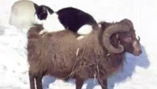 Козел-извозчик, баран-задира и овцы-танцоры: лучшие ролики интернета