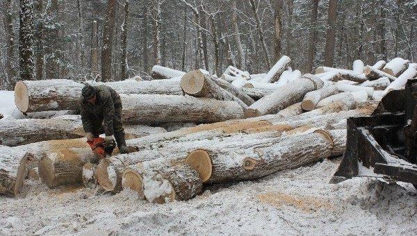 Заготовка дубов в Приморском крае