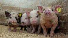 Поросята в питомнике мини-свиней