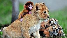 Детеныш обезьяны, львенок и тигрята в зоопарке Guaipo Manchurian Tiger Park в Шэньяне