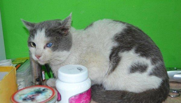 Саблезубому коту в Новосибирске собирают деньги на операцию
