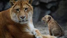 Лигрица Зита и ее детеныш играют в вольере Новосибирского зоопарка