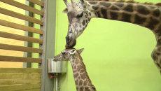 Маму-рекордсменку среди жирафов и ее детеныша показали публике