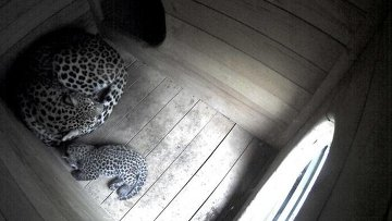 Фото родившегося в Сочи котенка переднеазиатского леопарда и его матери, опубликованное на сайте Минприроды