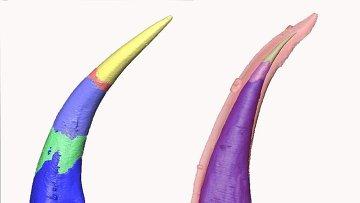 Ученые создали компьютерные модели роста зубов параконодонта (слева) и эуконодонта (справа): эуконодонты отличаются своеобразной эмалью.
