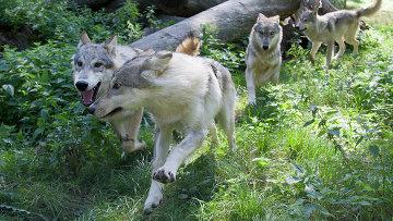 Волки способны распознавать, когда человек действительно прячет еду в укромном месте, а когда – только притворяется