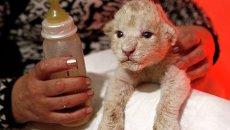 Детеныш белого льва в зоопарке Тбилиси