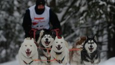 Рождественская гонка ездовых собак под Новосибирском