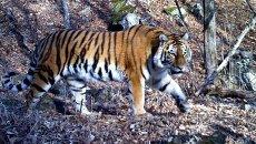 Тигрица, попавшая в объективы фотоловушек в заповеднике в Приморье. Архивное фото