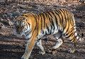 Тигрица Тайга в Приморском сафари-парке.