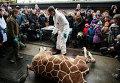 Люди смотрят как ветеринар готовится расчленить жирафа по кличке Мариус