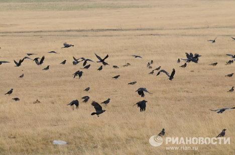 Вороны на высохшем поле